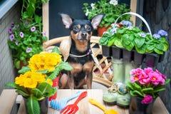 狗花围拢的帮手、宠物和园艺工具,花匠,卖花人的图象春天的概念 皇族释放例证