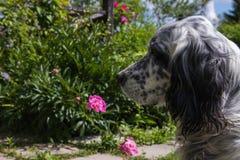 狗英国塞特种猎狗 室外在庭院夏日 免版税库存照片