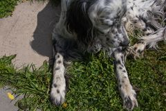 狗英国塞特种猎狗 室外在庭院夏日 免版税库存图片