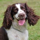 狗英国愉快的西班牙猎狗蹦跳的人 免版税库存照片
