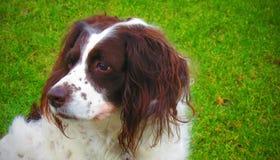 狗英国斯伯林格 免版税库存照片