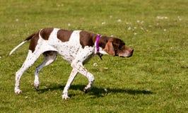 狗英国狩猎指针 免版税库存图片