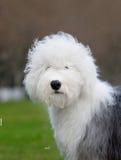 狗英国老护羊狗 库存照片