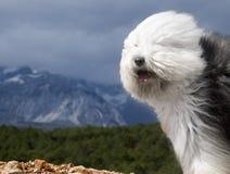 狗英国老护羊狗 免版税库存照片