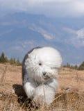 狗英国老护羊狗 库存图片
