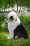狗英国老绵羊 免版税图库摄影
