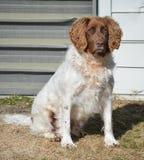 狗英国西班牙猎狗蹦跳的人 库存图片