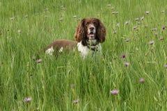 狗英国西班牙猎狗蹦跳的人 免版税库存照片