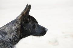 狗荷兰语牧羊人 免版税库存图片