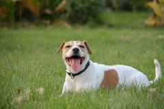 狗获得在夏天领域的乐趣充分的绿草 免版税库存图片