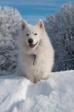 狗萨莫耶特人冬天 库存图片