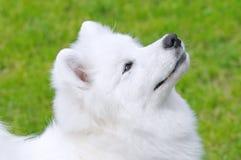 狗萨莫耶特人 免版税库存照片