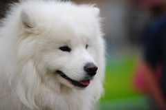 狗萨莫耶特人 库存照片