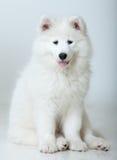 狗萨莫耶特人 免版税图库摄影
