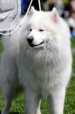 狗萨莫耶特人 图库摄影