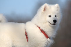 狗萨莫耶特人 免版税库存图片