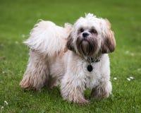 狗藏语 免版税库存图片