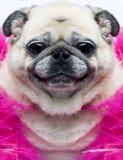 狗表面滑稽的哈巴狗 库存照片