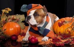 狗被编织的帽子和围巾 库存照片