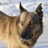 狗褴褛耳朵 库存图片