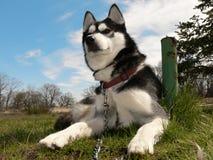 狗西伯利亚人 免版税图库摄影