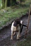狗西班牙猎狗工作 免版税库存照片