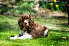 狗西班牙猎狗 免版税图库摄影