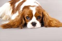 狗西班牙猎狗 库存图片
