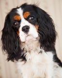 狗西班牙猎狗 免版税库存图片