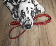 狗要在皮带附近走和等待 免版税库存照片