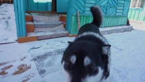 狗见面在入口到房子 滑稽的爱斯基摩 股票视频