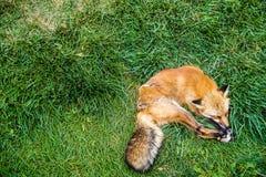 狗让谎言休眠 库存照片