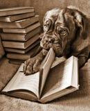 狗读取 免版税库存照片