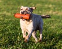 狗赛跑和使用 图库摄影