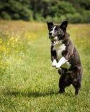 狗赛跑和使用 库存图片