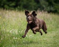 狗赛跑和使用 免版税库存图片