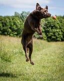 狗赛跑和使用 免版税图库摄影