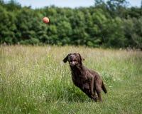 狗赛跑和使用 库存照片