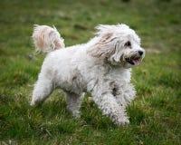 狗赛跑和使用 免版税库存照片