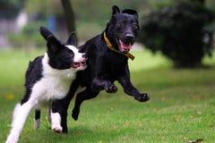 狗赛跑 库存照片