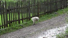 狗走在街道上的,流浪者搜寻狗的轻便汽艇寻找食物,无家可归者 股票录像