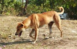 狗走的犬科在森林里 库存图片
