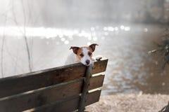 狗起重器罗素狗坐长凳,外面 库存照片