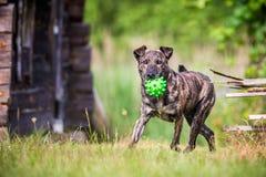 狗跑与玩具 免版税库存照片