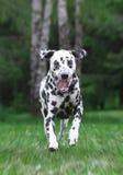狗跑在公园的-迷离 库存照片