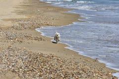 狗跑在海滩的maltesse bichon 库存图片