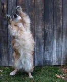 狗跳舞 免版税库存照片