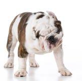 狗身分和震动 免版税库存照片