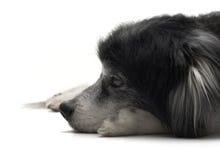 狗躺下老 库存图片