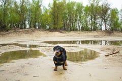狗达克斯猎犬多米尼克 图库摄影